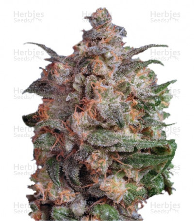 Buy Brainstorm feminized seeds