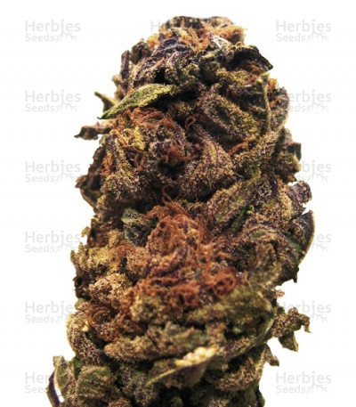 Buy Orange Bud Regular seeds