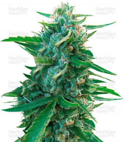 Buy Sugar Black Rose Early Version feminized seeds