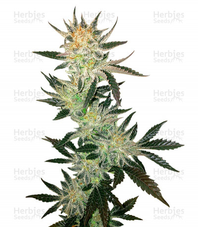 Buy White Rhino regular seeds