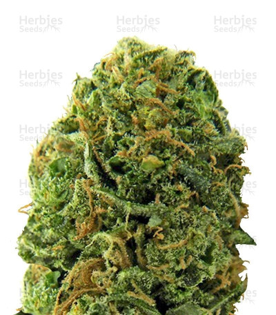 Buy Massive Midget Auto feminized seeds