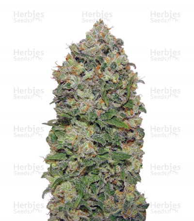 Buy Northern Lights (00 seeds) feminized seeds
