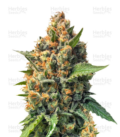 Buy Misty Kush seeds
