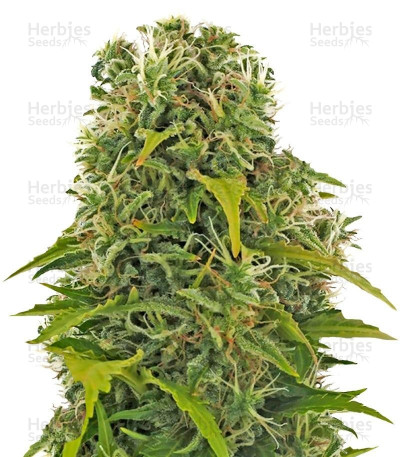Buy High Density Auto feminized seeds