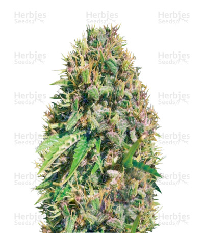 Buy Super Mazar feminized seeds