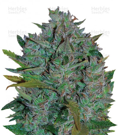 Buy Ultraviolet auto feminized seeds