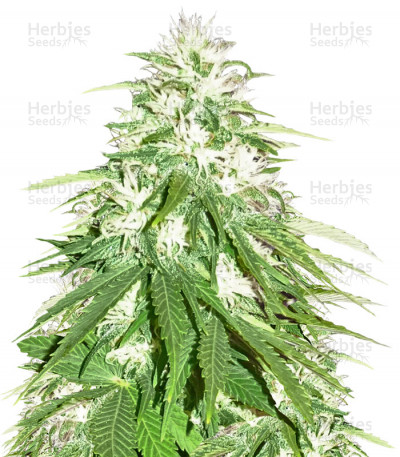 Buy Zombie Haze feminized seeds