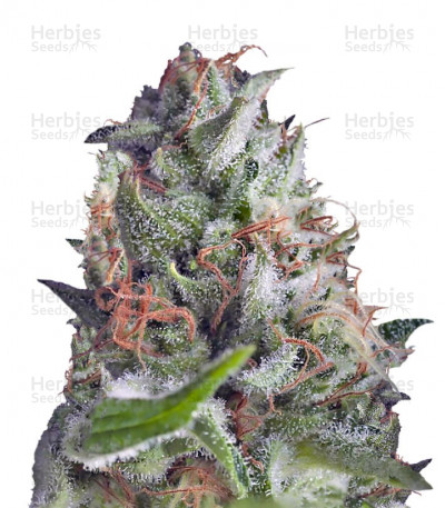 Buy Auto Shark feminized seeds
