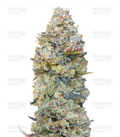 Buy Chocolate Skunk feminized seeds