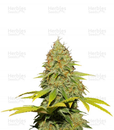 Buy Jack Herer regular seeds
