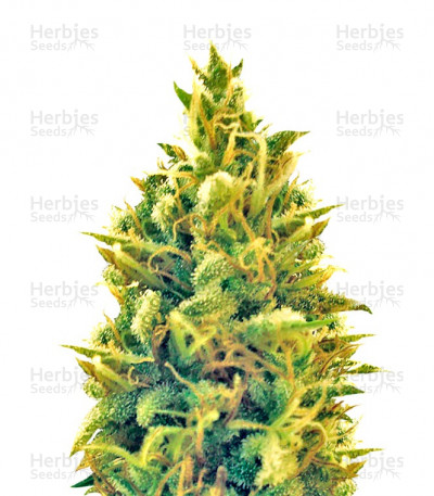 Buy Puff Puff Pass Out feminized seeds