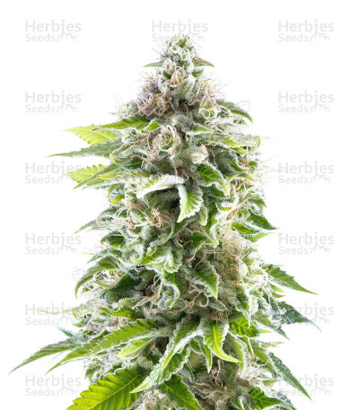 Buy Cookies Haze feminized seeds