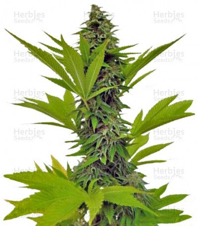 Buy Moby Dick feminized seeds