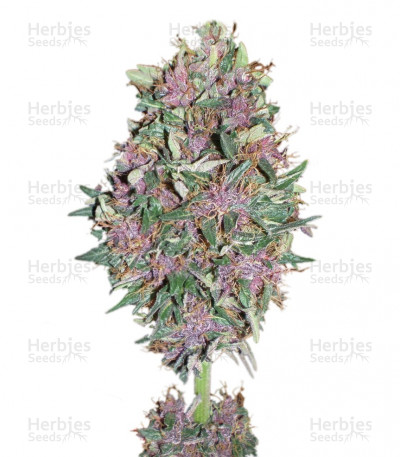 Buy Purple #1 feminized seeds