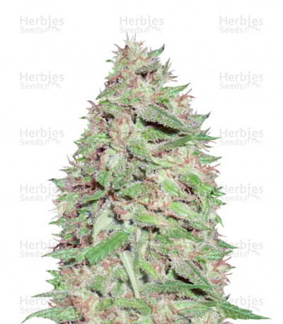 Buy Dizzy Lights Auto feminized seeds