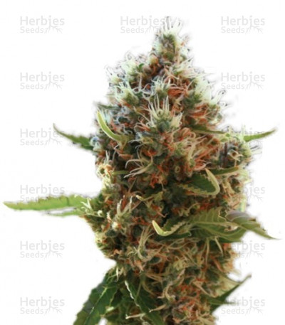 Buy Lucid Bolt feminized seeds