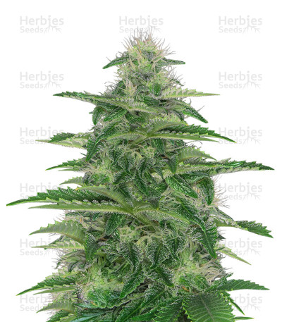 Buy Dark Delight feminized seeds