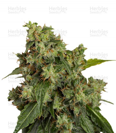 Buy Auto Xtreme feminized seeds