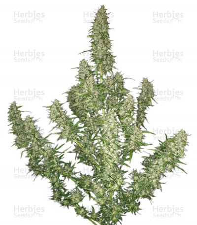 Buy Buddha Magnum Auto feminized seeds