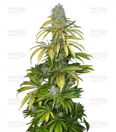 Buy Chrystal feminized seeds