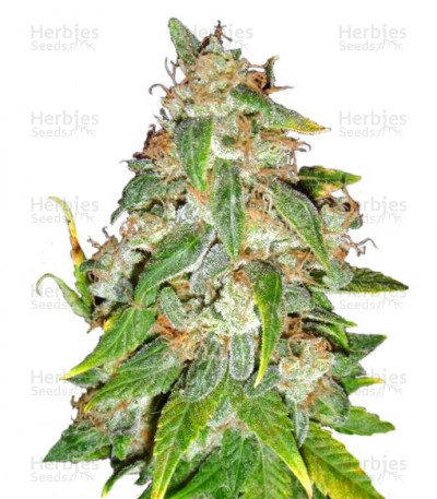 Buy Kaia Kush feminized seeds