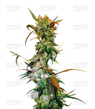 Buy VIP Haze feminized seeds