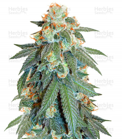 Buy Auto Orange Bud feminized seeds