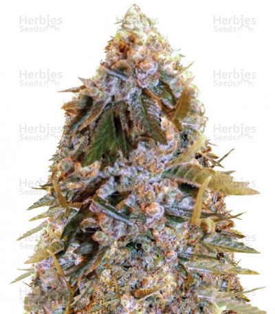 Buy Biggest Bud (Big Bud) feminized seeds
