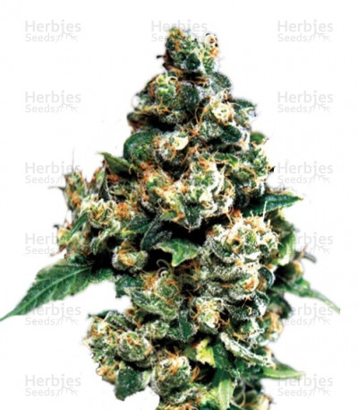 Buy Jack Herer feminized seeds