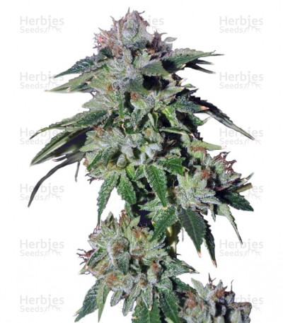 Buy Pure Kush feminized seeds