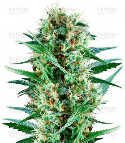 Buy Royal Cookies feminized seeds