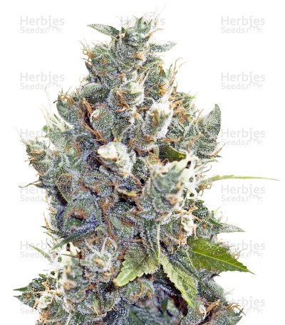 Buy BubbleGummer feminized seeds