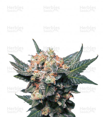 Buy Big Band feminized seeds