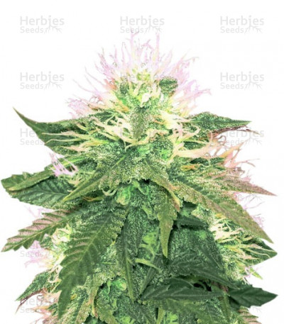 Buy American Pie feminized seeds