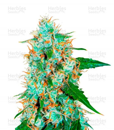 Buy Critical Neville Haze 2.0 feminized seeds
