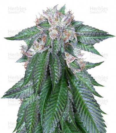 Buy Master Kush feminized seeds