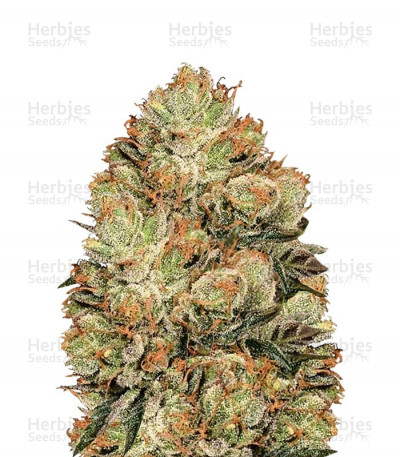 Buy HulkBerry feminized seeds