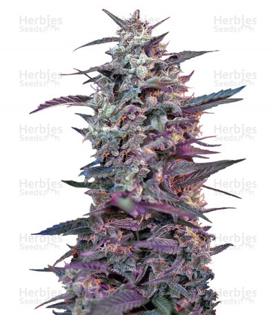 Buy Bloody Skunk Auto feminized seeds