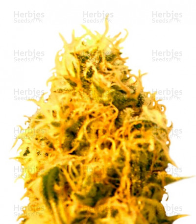 Buy Mango Mist Shake feminized seeds