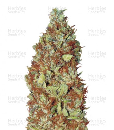 Buy Master Kush regular seeds