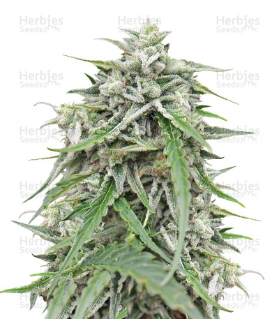 Buy Auto NL feminized seeds