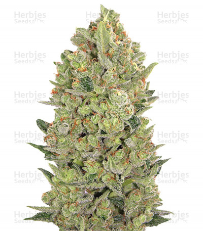 Buy 00 Hashchis aka 00 Cheese feminized seeds