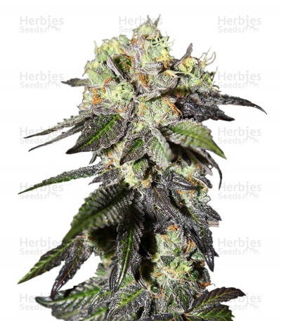 Buy Caboose feminized seeds