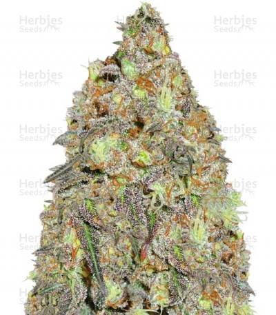 Buy Critical Chronic regular seeds`
