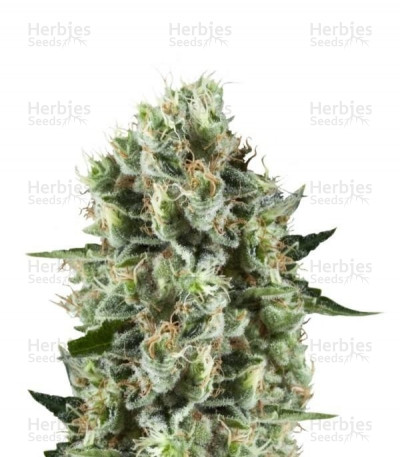 Buy Critical Kush feminized seeds (Royal Queen Seeds)