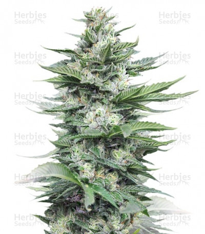 Buy Sour Diesel #2 feminized seeds