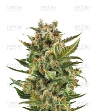 Buy White Widow Automatic feminized seeds