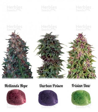 Buy Colour Mix 2 feminized seeds