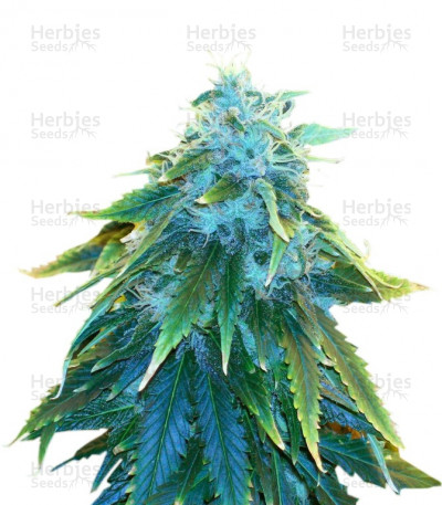 Buy AK 48 feminized seeds