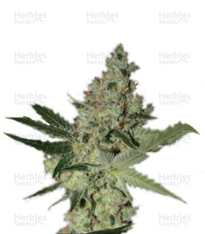 Buy Acid feminized seeds